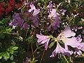 Rhododendron cv. Kiev Grishko 16.jpg