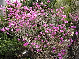 Rhododendron dauricum3.jpg