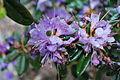 Rhododendron impeditum azurika in Rogačevo (10).JPG