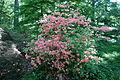 Rhododendron kaempferi - Arnold Arboretum - DSC06708.JPG