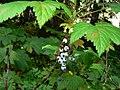 Ribes bracteosum 26338.JPG