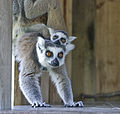 Ringtail Lemur with baby on her back (5396260658).jpg