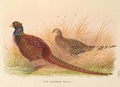 Rion Caucasian Pheasant by H. Jones.png