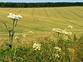 Ripening Wheat Field - geograph.org.uk - 25989.jpg
