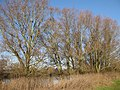 Riverside trees - geograph.org.uk - 1105628.jpg