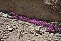 Rock Fringe Epilobium obcordatum Forester.JPG