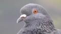 Rock dove (Columba livia).png