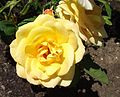 Rosa-goldmedal.jpg