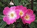 "Rosa ""American Pillar"". 02.jpg"