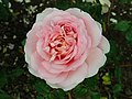 Rosa Abraham Darby 2019-06-07 1306.jpg