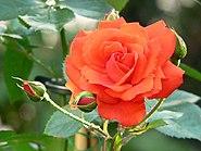 Rosa Ave Maria 1
