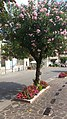 Rosa Oleanderbaum am Strassenrand von Maderno.jpg