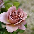 Rose, Café Latte, バラ, カフェ ラテ, (15873193336).jpg