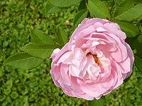 Rose - Anna Scharsach (1) (cropped).jpg