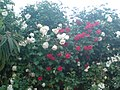 Rosebush - panoramio (3714).jpg