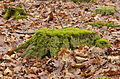 Rotten stumb covered with moss - verfallener Baumstumpf mit Moos bedeckt.jpg