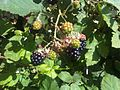 Rubus fruticosus wetland 2.jpg
