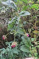 Rubus roseus - Flickr - Dick Culbert.jpg