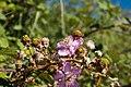 Rubus vestitus-Fleurs roses--20150616.jpg