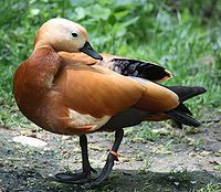 Ruddy Shelduck 489.jpg