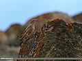 Rufous-tailed Rock-thrush (Monticola saxitilis) (23223993173).jpg