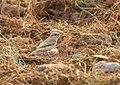 Rufous-tailed Shrike (Lanius isabellinus) (37799101921).jpg