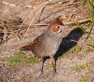 Rufous bristlebird species of bird