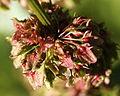 Rumex obtusifolius L. (8006654088).jpg