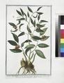 Ruscus angustifolius, fructu summis ramulis innascente. - Lauro Alessandrino - Laurier Alexandrin a feuilles étroites (NYPL b14444147-1124938).tiff