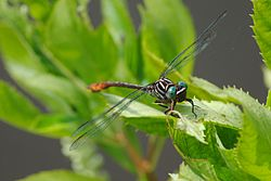 Russet-tipped Clubtail.jpg