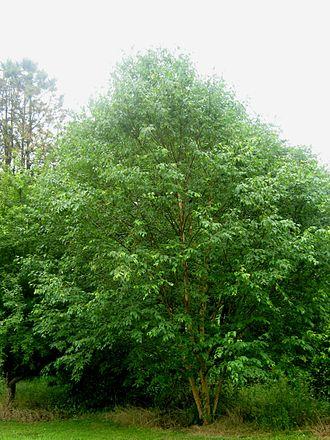 Betula grossa - Betula grossa, Sir Harold Hillier Gardens, England