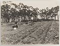 SLNSW 919925 Series 04 Fruit and vegetables ca 19211924.jpg
