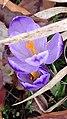 Saffron - Crocus vernus 22.jpg