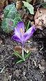 Saffron - Crocus vernus 36.jpg