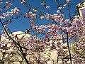 Saint Petersburg. Chinese Garden. Sakura tree2014 13.jpg