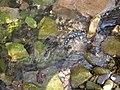 Salamandra pezzata - panoramio.jpg