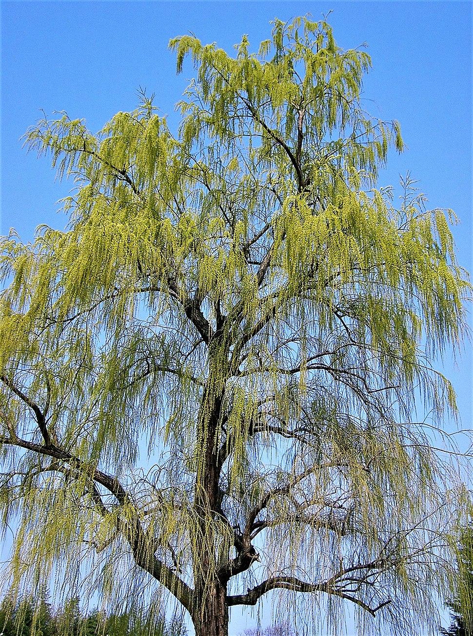 Salix babylonica3