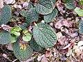 Salix reticulata - Leaf-upper.JPG
