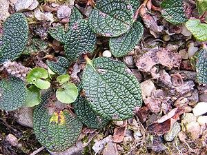 Salix reticulata - Image: Salix reticulata Leaf upper