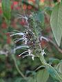 Salvia arborescens 02 (8247069531).jpg