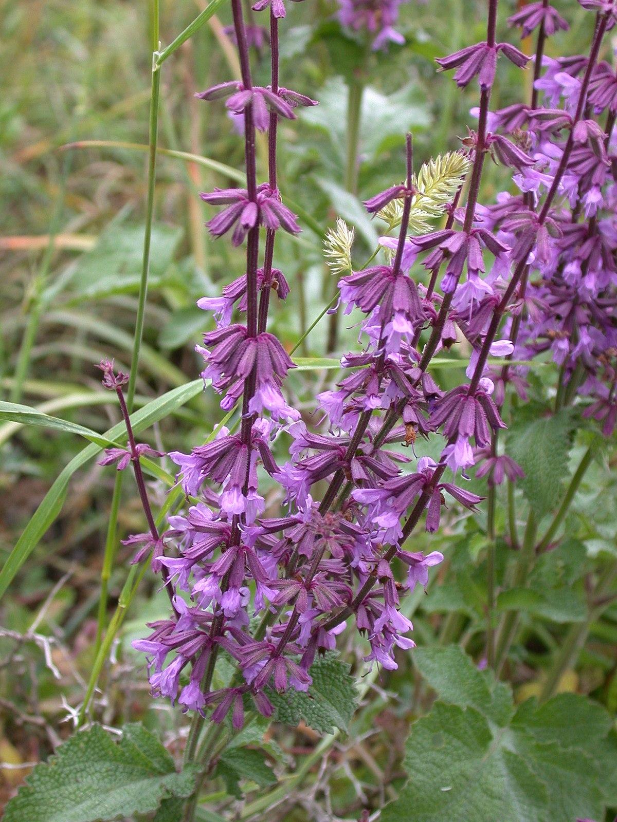 V Is For Violet Salvia judaica - Wikip...