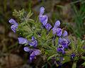 Salvia rubifolia 1.jpg
