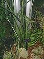 Sansevieria cylindrica1.jpg