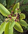 Santalum album leaves and flowers 05.JPG