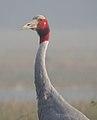 Sarus Crane Grus antigone by Dr. Raju Kasambe DSCN7348 (1).jpg