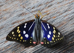 National symbols of Japan - Great purple emperor