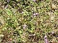 Satureja alpina2.jpg