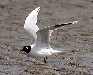 Saunderss gull Species of bird