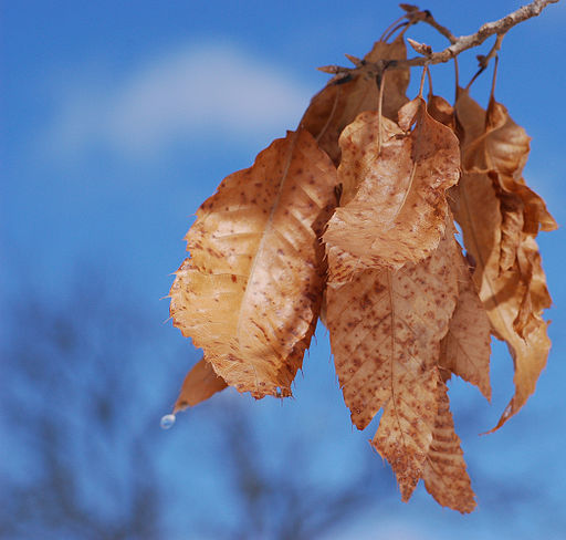 Sawtooth Oak Quercus acutissima Dried Leaves 2100px