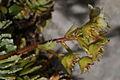 Saxifraga paniculata PID913-1.jpg